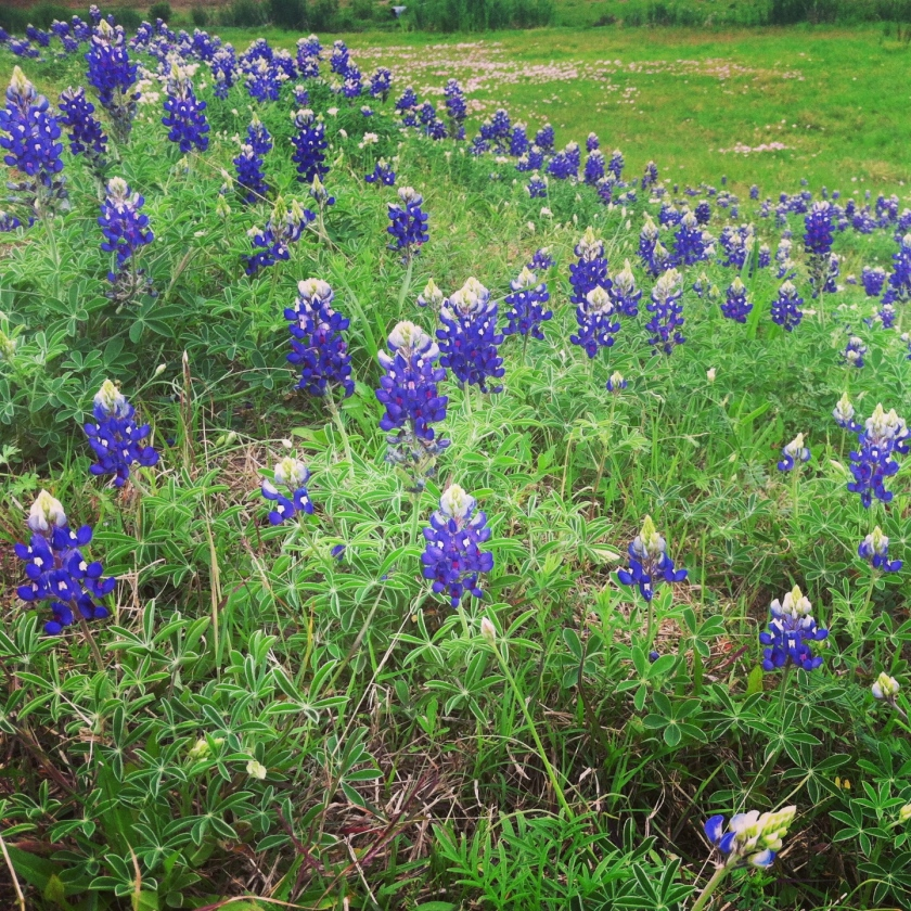 Bluebonnets are here!